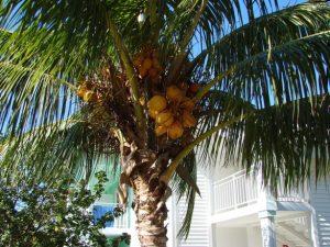 coconut-tree-1378197