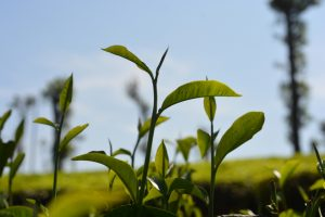 tea-leaves-in-tea-estate-1317505